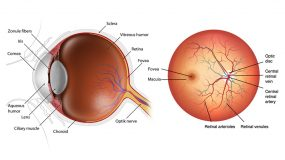 Adult Ophthalmology Human Eye Anatomy copy